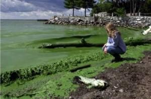 algues-bleues2