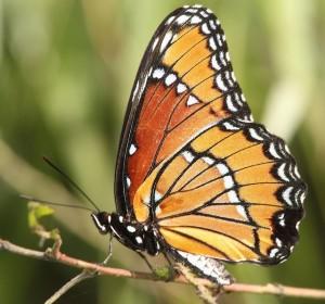 viceroy-butterfly-1550407_640