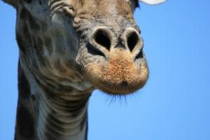 giraffe-1505159_960_720