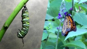 le-papillon-se-transforme-en-chrysalide-avant-de-prendre-sa-forme-ailee_71213_w460